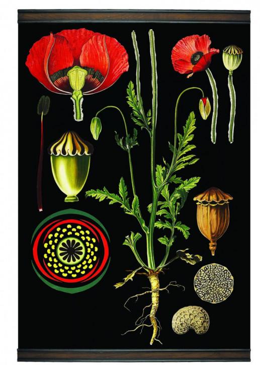 Flanders Poppy Botanic Chart