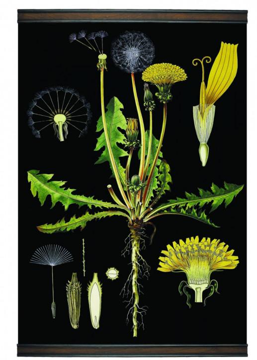 Dandelion Botanic Chart