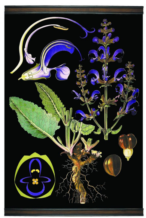 Meadow Sage Botanical Chart
